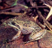 Mascarene grass frog (http://en.wikipedia.org/wiki/Mascarene_grass_frog)