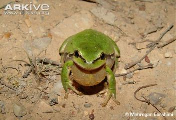 Lemon-yellow tree frog (Hyla savignyi) ((c) © Mehregan Ebrahimi)