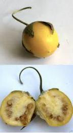 A mandrake fruit