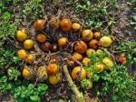 Mandrake with fruit