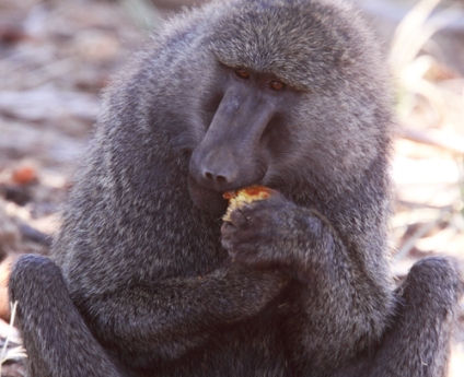 Olive Baboon, Eating Doum Palm Fruit