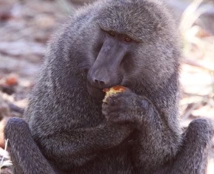Olive Baboon, Eating Doum Palm Fruit